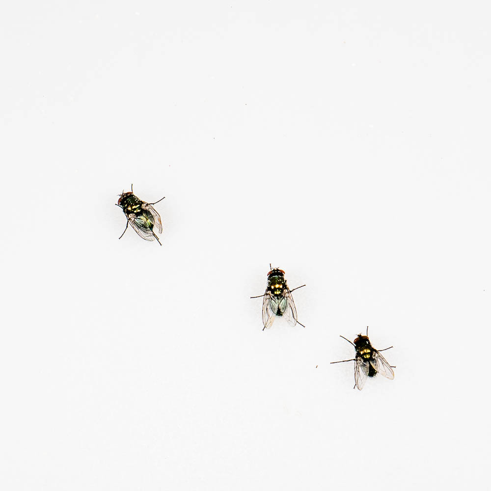 Greenbottle flies (Lucilia sp.)