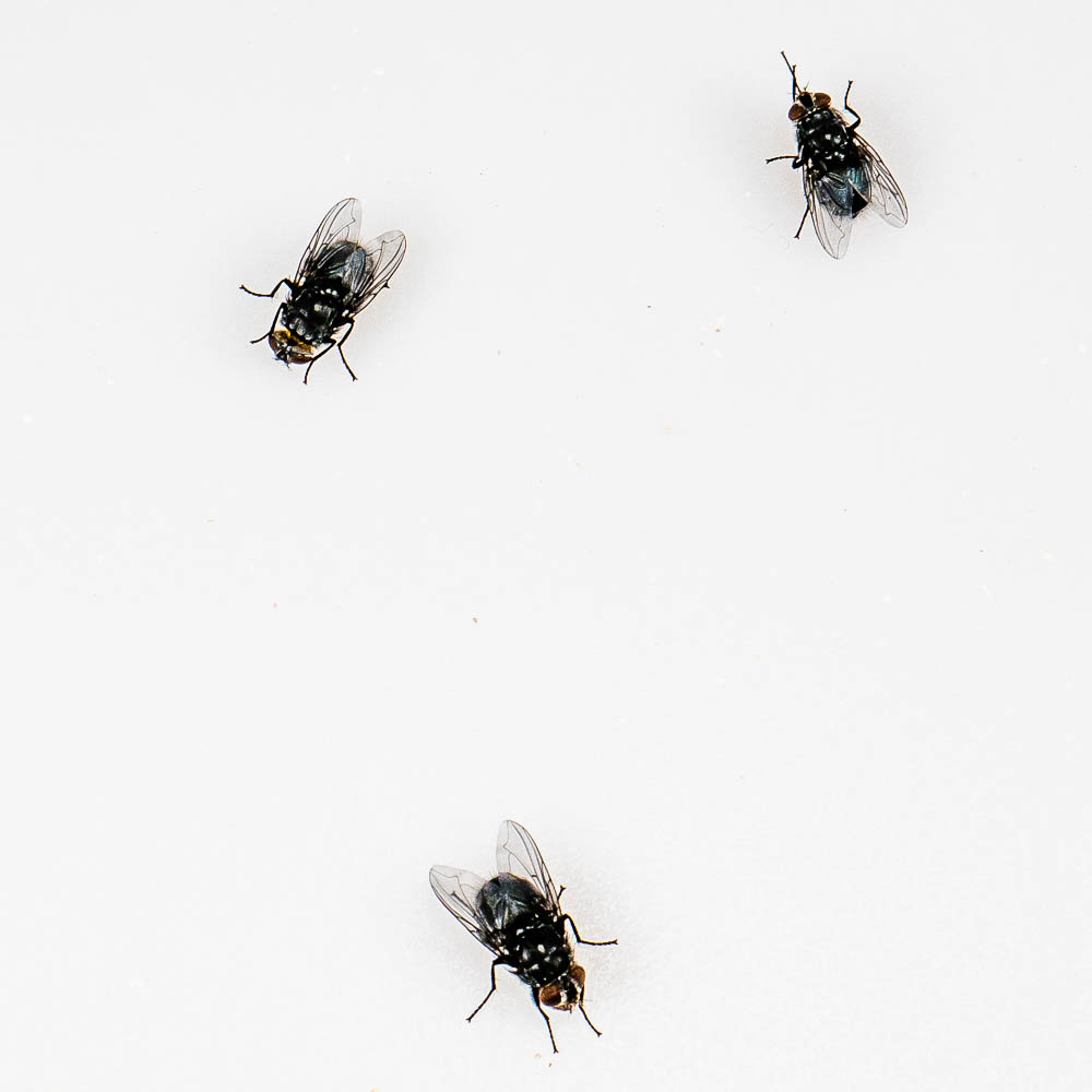 Bluebottle flies (Calliphora sp.)