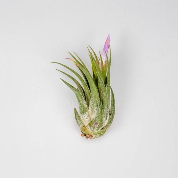 Tillandsia kolbii with bud