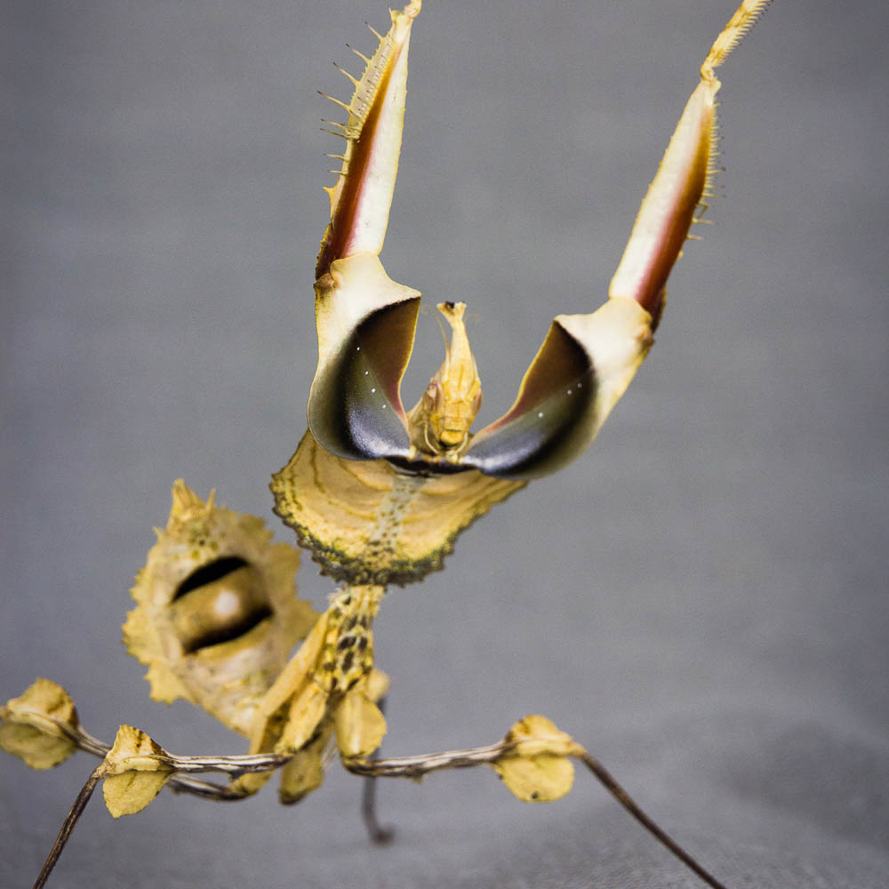 Idolomantis diabolica nymph display