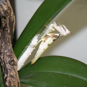 Orchid mantis ootheca